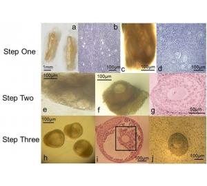 Ученые впервые вырастили полноценные яйцеклетки в лабораторных условиях