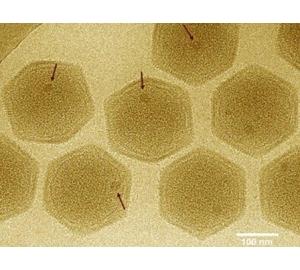 У гигантских вирусов нашли эукариотические гены