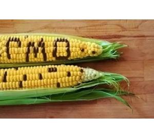 Генетически модифицированную кукурузу назвали полезной для здоровья