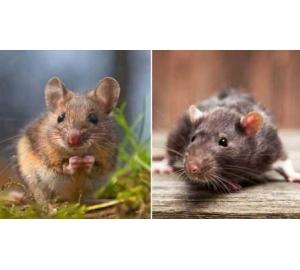 Мыши замирают, чувствуя слезы крыс