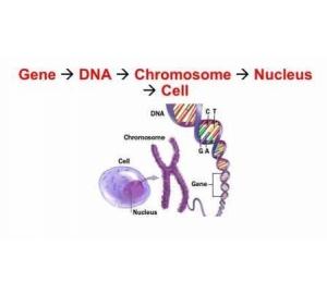 Почему клетки, имея одинаковый генокод, работают по-разному