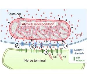 Нейробиологи обнаружили новый способ передачи сигналов между нервными клетками