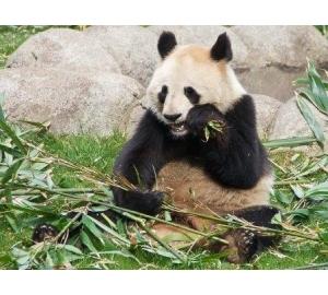 Палеогенетики впервые «воскресили» ДНК древней панды