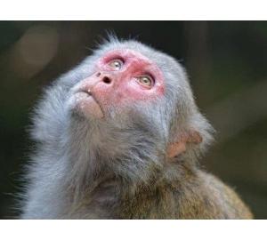 Отключение гена в печени обезьян снизило уровень холестерина в их крови
