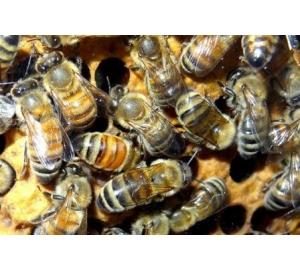 У одной пчелиной семьи может быть до пятидесяти разных отцов