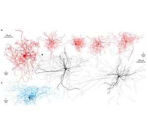 Открыт новый вид нейронов