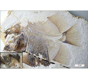 Палеонтологи нашли в Германии останки пираньи, пожиравшей динозавров